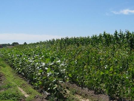 cultivos biomasa