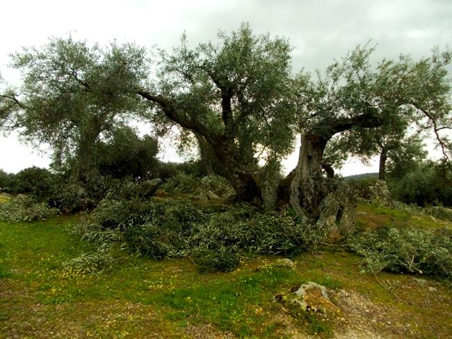 poda olivo